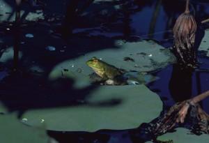 bullfrog, rana catesbeiana, frog, leaves