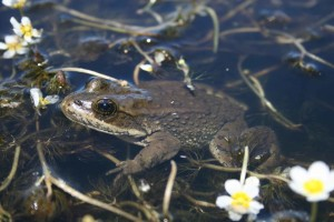 columbia, spotted, frog, rana luteiventris