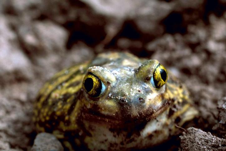 couchs, spadefoot, toad, frog, details