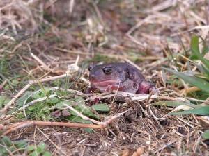 spadefoot, toad, frog