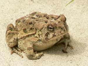 fowlers, toad, frog