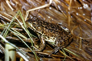 frog, amphibia, leaves