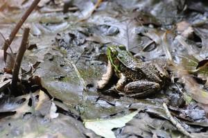 grenouille, feuilles