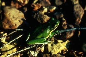 verde, árbol, anfibio, rana, planta