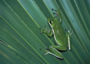 verde, árbol, rana, hoja verde