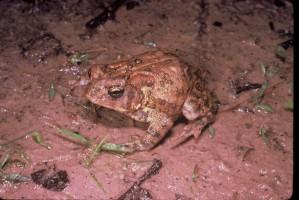 houston, toad