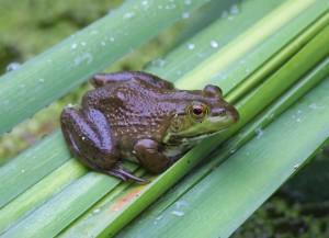 lithobates, catesbeianus, bullfrog, amphibian