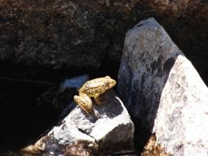 montagne, jaune, pattes, grenouille, endengered, reptile, espèces