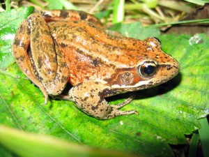 northern red, legged, frog, rana aurora, amphibia