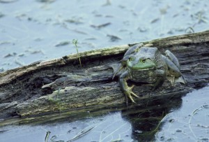 rana catesbeiana, ouaouaron, grenouille, sauvage, habitat
