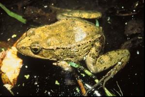rojo, patas, rana, anfibios, animal