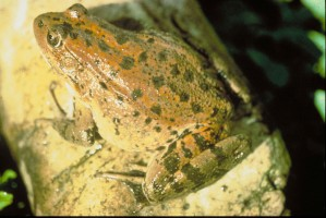 red, legged, frog, California