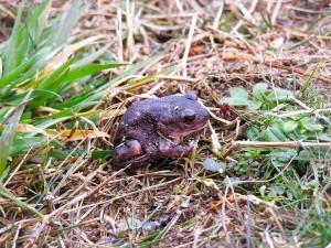 reptile, spadefoot, toad