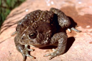 woodhouse, toad, frog, anaxyrus, woodhousii