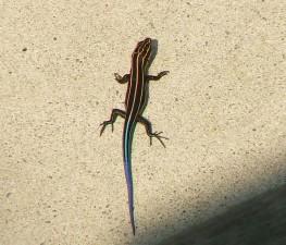 blue, tailed, skink, plestiodon, fasciatus