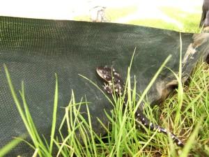 california, tiger salamander, net