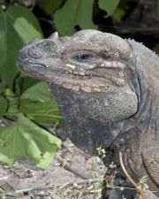 up-close, head, shoulder, mona, ground, iguana, reptile