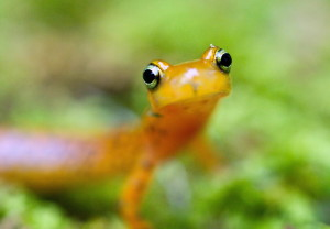 up-close, longtail, salamander