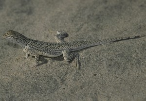 coachella, valley, fringe, toed, lizard