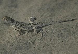 coachella, valley, fringe, toed, lizard