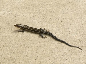 five, lined, skink, eumeces, fasciatus