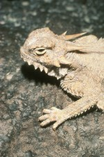 flat, tailed, horned, lizard, face