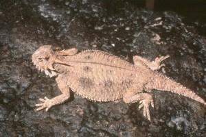 flat, tailed, horned, lizard, sunning, rock