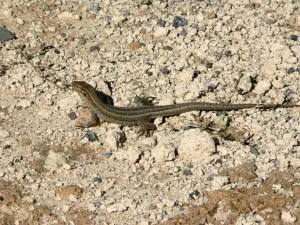 gecko, lézard