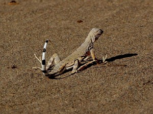 lizards, sandy, reptiles