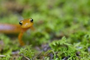 longtail, salamander, standing, moss, eurycea, longicauda