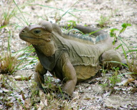 mona, ground, iguana, reptile, animal, cyclura, cornuta, stejnegeri