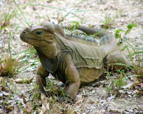 mona, ground, iguana, reptile, animal, cyclura cornuta stejnegeri