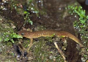 Olympic, salamander