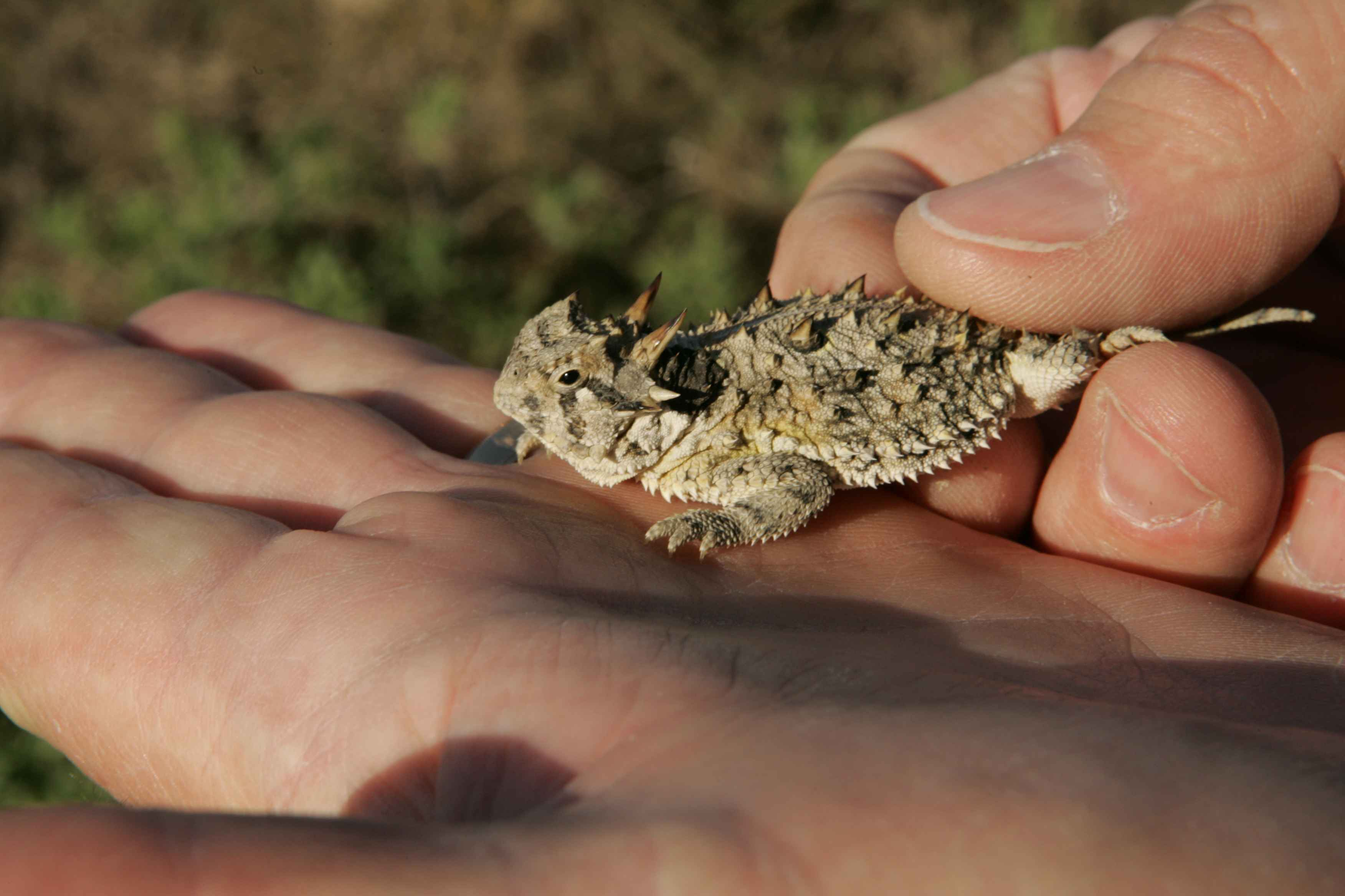 Free Picture Texas Horned Lizard Phrynosoma Cornutum