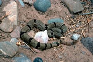 banded, rock, rattlesnake