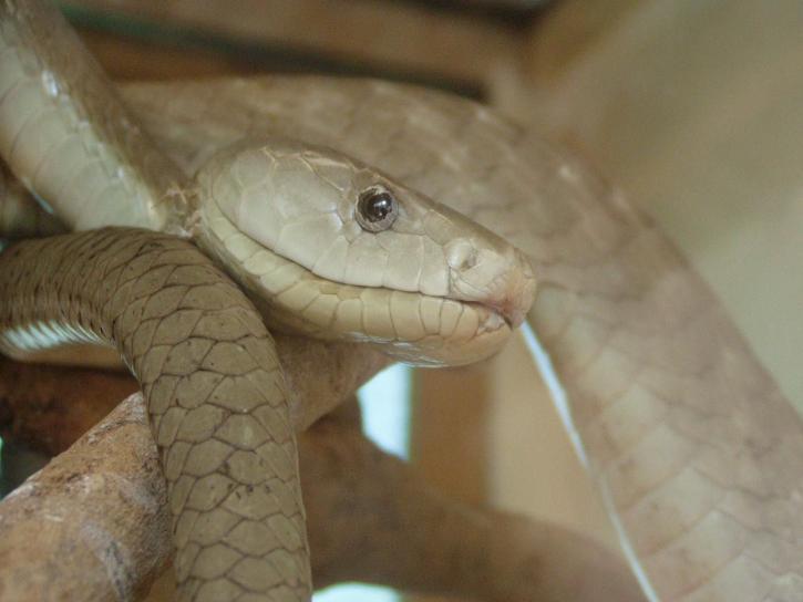 black, mamba, snake, dendroaspis polylepis