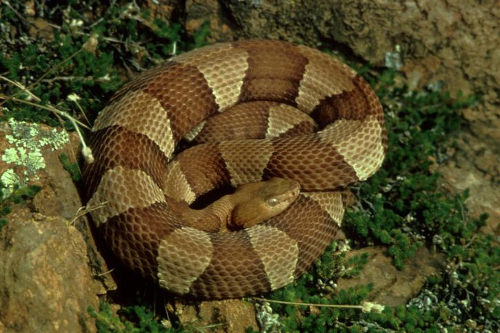 broad, banded, copperhead, coiled, vegetation