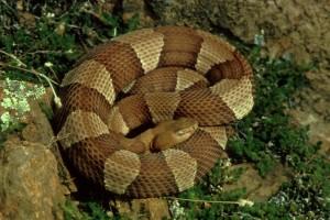 luas, berpita, Copperhead baik, digulung, ular