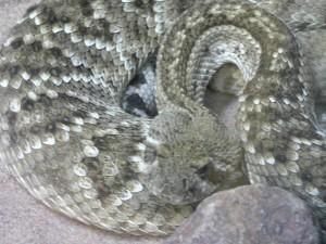 diamondback, rattlesnake, reptile
