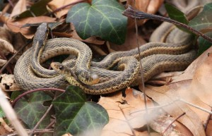 garter, snakes, reptiles, thamnophis, sirtalis