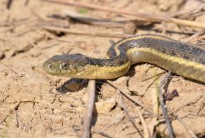 Vrtna zmija