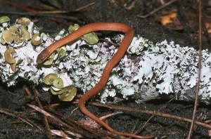 pine, woods, snake, rhadinaea, flavilata, lichen, covered, log