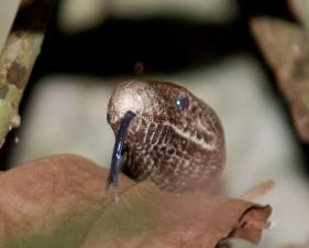 puerto, Rican, snake, tongue, shown, epicrates, inornatus