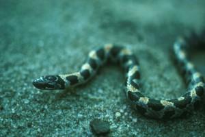 short tailed, snake, stilosoma, extenuatum
