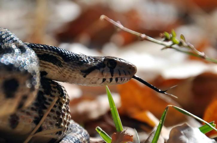 snake, head, tongue, extended, close
