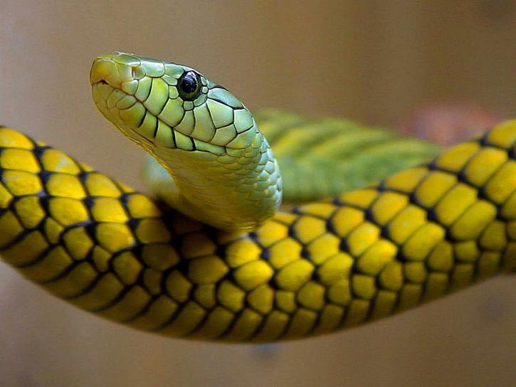 snakes, green, reptile