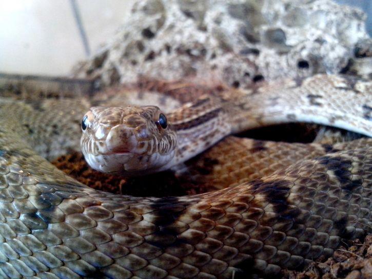 serpientes, la cabeza, el cuerpo, las escalas
