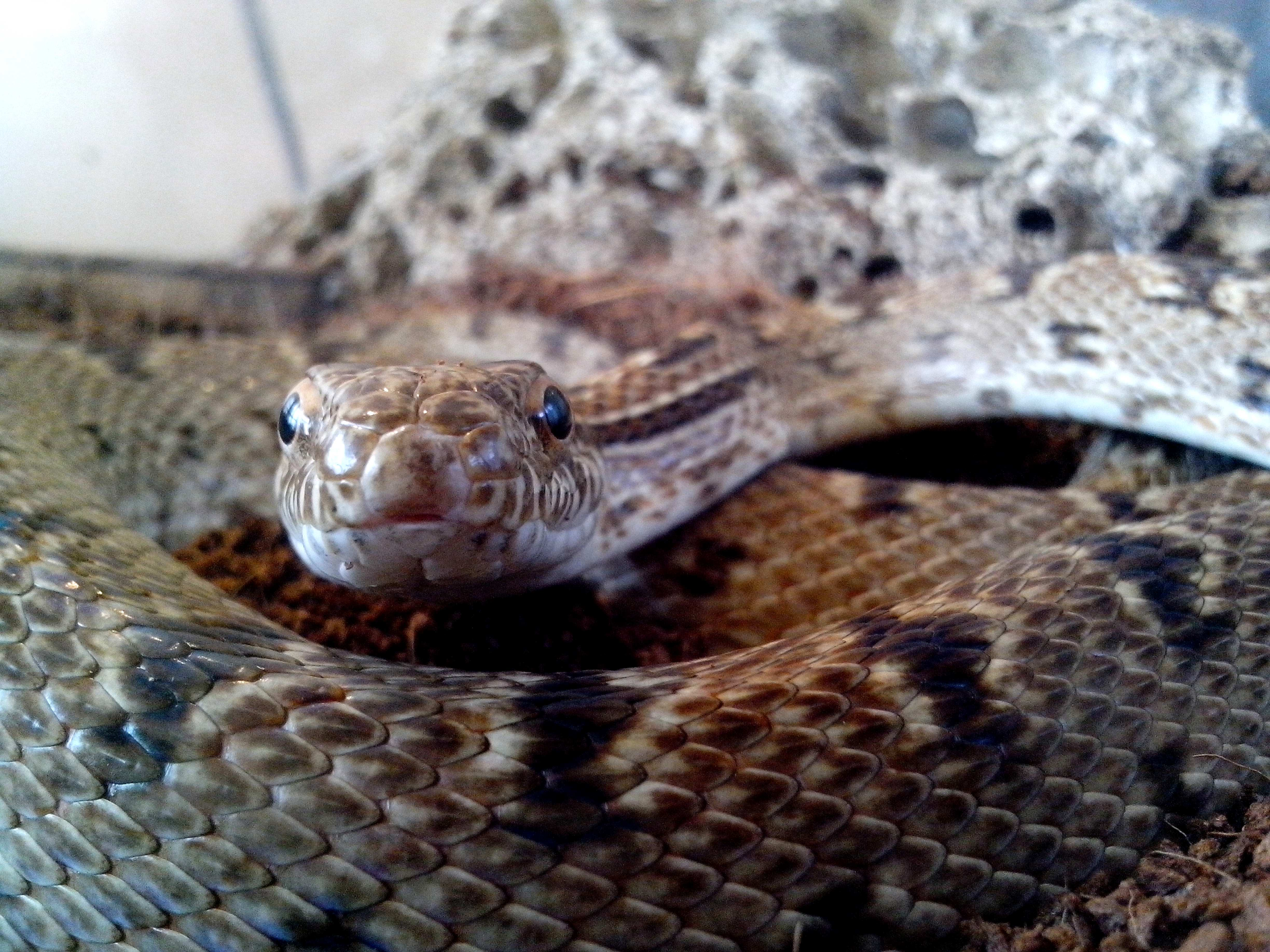 Free photograph; snakes, head, body, scales