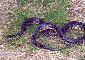 speckled, king, snake, lampropeltis, getula, holbrooki, stejneger