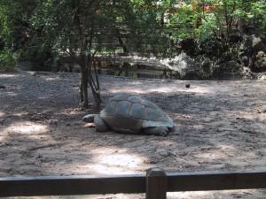 Aldabra, tartaruga
